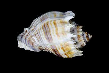 Digital photograph of a Melongena corona shell.