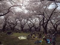 SakuraSakura - Japan