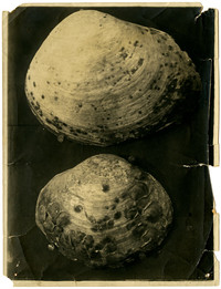 Closeup of two clam shells, one larger than the other