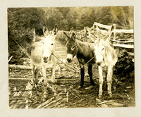 Three donkeys are tied together on corduroy log lane