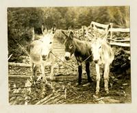 Three donkeys are tied together on corduroy log lane