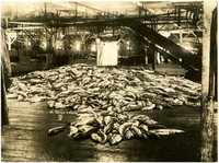 Fish piled on cannery floor