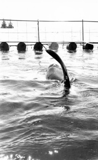 Captured orca whale