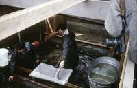Game Department employee with steelhead taken in South Fork Toutle River fish trap for spawning purposes.