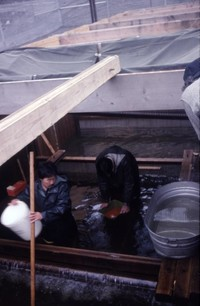 Game Department employee mixes steelhead milt and eggs at South Fork Toutle River fish trap.