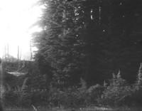 Closeup of large evergreen trees