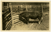 Large Guernsey bull in corral