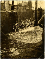 Net full of fish is pulled from fishtrap