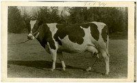 Side view of large Jersey cow