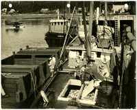 Fishing boat with deckhands working a hold full of fish, tied next to an empting holding scow