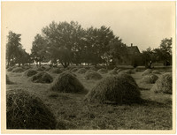 Field full of small haystacks with farmhouse in distance