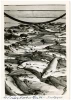 Large quantity of sockeye salmon