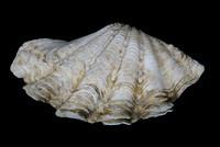 Giant clam ?
