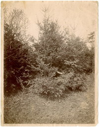 Group of conifer trees