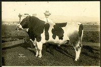 Large Holstein bull stands in corner of paddock with man standing behind