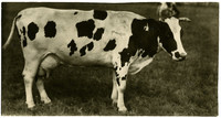 Side view of Jersey cow