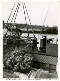 Brailer Full of Sockeye Salmon