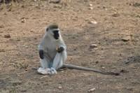 Snacking Vervet Monkey - Tanzania