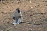 Snacking Vervet Monkey - Tanzania