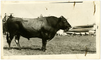 Side view of large Jersey bull