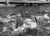 Penn Cove Whale Capture
