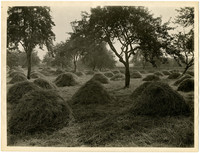 Field full of small haystacks amongs trees