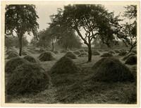 Field full of small haystacks amongs trees