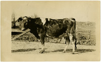 Side view of young Guernsey cow