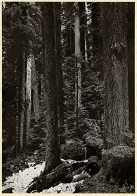 Mt. Baker district - stand of tall trees in forest with snowy ground