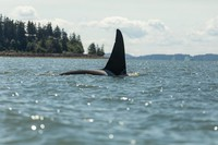 Orcas in Bellingham Bay 5-26-20