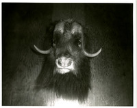 Head of a musk-ox hung on wall