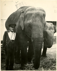 Elephant handler with two elephants