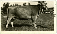 Side view of Guernsey cow with ribbon on ear