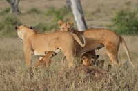 Lunchtime in the Serengeti - Tanzania