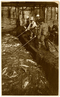 Several workers pull fishtrap nets full of salmon towards dock