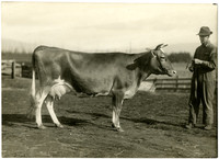 Man with side view of dairy cow