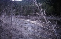 Grizzly Creek, tributary of North Fork Toutle River, showing mudflow and tree damage.
