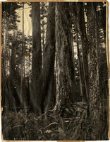 Stand of large evergreens among forest ferns