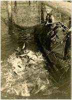 Three men brailing salmon from a fishtrap