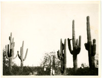Three people stand amid several huge saguary cacti