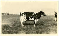 Side view of Jersey cow standing in field