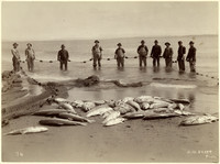 Ten men in knee-deep water holding fishing net with day's catch of salmon on beach in foreground