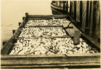A barge full of fish