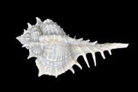 Vokesimurex elenensis