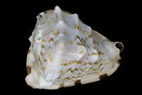 Cassis tuberosa