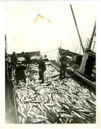Five unidentified men unloading salmon from nets into large pens on a barge or pier jutting out into the water.
