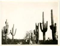 Three people stand amid several huge saguary cacti