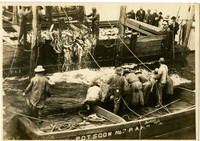 Workers on barge brailing salmon from fishtraps