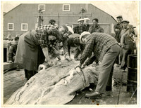 Several people work together to skin large fish or whale on dock with onlookers and warehouse in background