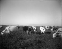 Dairy cows grazing in a field